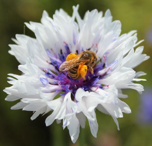 Abeilles pollen Virginie Hateau