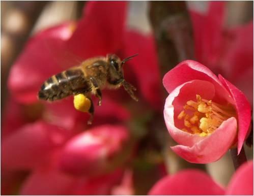 abeille transportant pollen POLLENERGIE