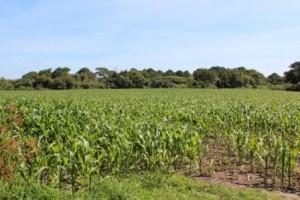 champs de maïs Virginie Hateau (2)