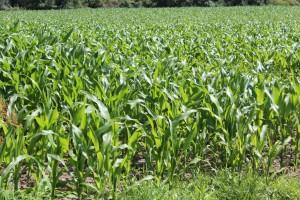 champs de maïs Virginie Hateau (4)