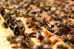 abeilles sur cadre - Virginie Hateau   (2)